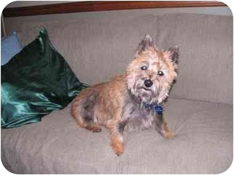 Cairn Terrier Dog for adoption in Bloomsburg, Pennsylvania - Lily