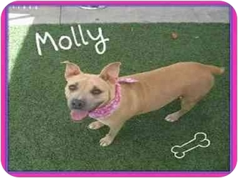 American Staffordshire Terrier/American Pit Bull Terrier Mix Dog for adoption in San Pedro, California - Molly