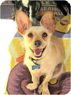 Terrier (Unknown Type, Small)/Chihuahua Mix Dog for adoption in Los Angeles, California - Johnny Pickles