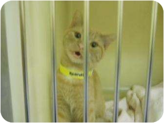 Domestic Shorthair Cat for adoption in Edwardsville, Illinois - Blondie