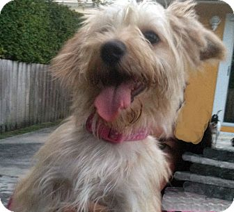 Cairn Terrier/Yorkie, Yorkshire Terrier Mix Dog for adoption in Miami, Florida - Lucila