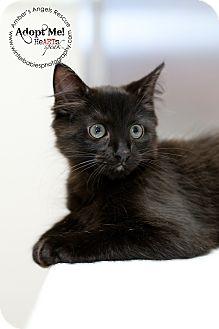 American Shorthair Kitten for adoption in Goldens Bridge, New York - Frankie