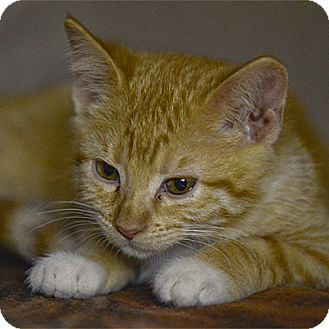 Domestic Shorthair Kitten for adoption in Stillwater, Oklahoma - Scotty