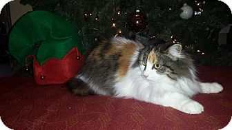 Domestic Longhair Cat for adoption in Rochester, Michigan - Emily