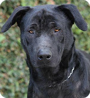 German Shepherd Dog Mix Puppy for adoption in Los Angeles, California - Flynn von Forst