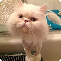 Adopt A Pet :: Thalin (front paw declawed) - Beverly Hills, CA