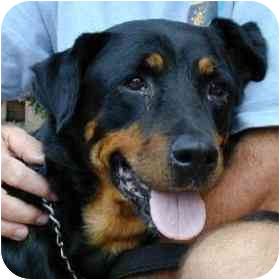 Rottweiler Mix Dog for adoption in Berkeley, California - Demi