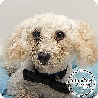 Bichon Frise Mix Dog for adoption in Troy, Ohio - Higgins