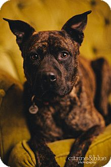 Dutch Shepherd/Pit Bull Terrier Mix Dog for adoption in Portland, Oregon - Monty