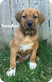Pit Bull Terrier Mix Puppy for adoption in Davison, Michigan - Sandor