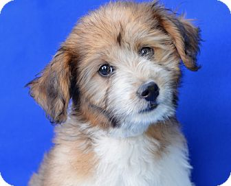 Terrier (Unknown Type, Small) Mix Puppy for adoption in LAFAYETTE, Louisiana - COUCHE'COUCHE'
