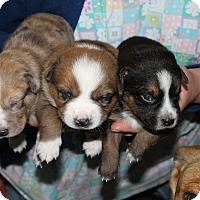 Adopt A Pet :: BANZAI*ADOPTED!* - Chicago, IL