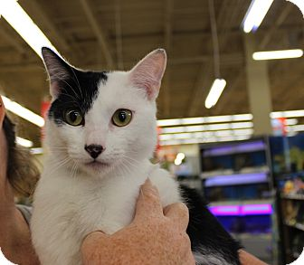Domestic Shorthair Cat for adoption in Las Vegas, Nevada - COMET (DOG FRIENDLY