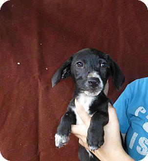 Dachshund/Beagle Mix Puppy for adoption in Oviedo, Florida - Espresso