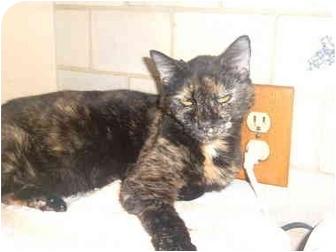 Domestic Shorthair Cat for adoption in Bedford, Massachusetts - Toya