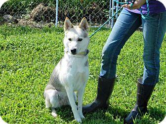 Siberian Husky Mix Dog for adoption in Waverly, Ohio - Annie
