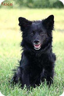 Pomeranian/Dachshund Mix Dog for adoption in Cedar Rapids, Iowa - Rascal