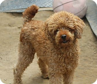 Poodle (Miniature) Mix Dog for adoption in Liberty Center, Ohio - Polo Pending Adoption