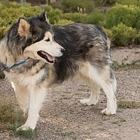 Siberian Husky Dog for adoption in Cedar Crest, New Mexico - Anuk