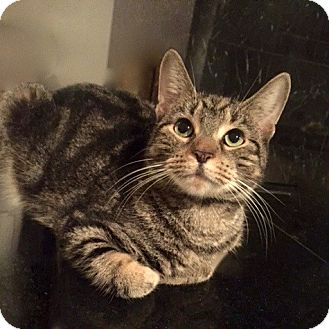 Domestic Shorthair Cat for adoption in Long Beach, New York - Shadow
