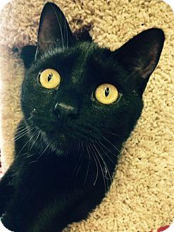 Domestic Shorthair Kitten for adoption in Wayne, New Jersey - J.T. Kirk