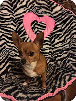 Chihuahua Mix Dog for adoption in Florence, Kentucky - Cowboy Bob