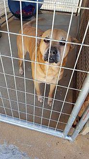 Chow Chow/Labrador Retriever Mix Dog for adoption in Marianna, Florida - Trix
