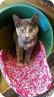 Domestic Shorthair Cat for adoption in Pittsburg, Kansas - Aspen