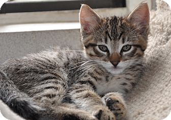 Domestic Shorthair Kitten for adoption in Glendale, Arizona - TIGGER