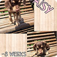 Adopt A Pet :: Daisy (RBF) - Washington, DC