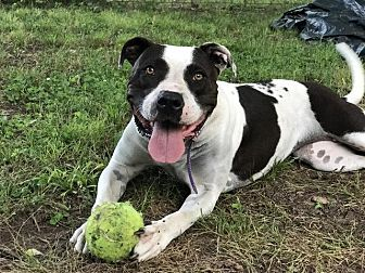 Pit Bull Terrier Dog for adoption in Little Rock, Arkansas - Nina