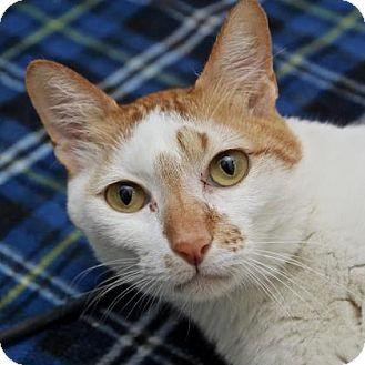 Domestic Shorthair Cat for adoption in San Francisco, California - Opie