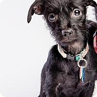 Adopt A Pet :: Charmes: Adoption Pending - Astoria, NY