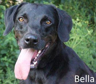 Weimaraner/Labrador Retriever Mix Dog for adoption in Tahlequah, Oklahoma - Bella