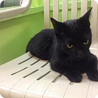 Domestic Shorthair Cat for adoption in Janesville, Wisconsin - Aemon