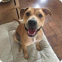 Retriever (Unknown Type)/Terrier (Unknown Type, Medium) Mix Dog for adoption in St. Charles, Missouri - Tippy