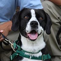 Adopt A Pet :: Domino - Santa Ana, CA