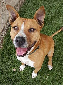 American Staffordshire Terrier Mix Dog for adoption in Ventura, California - Elsie