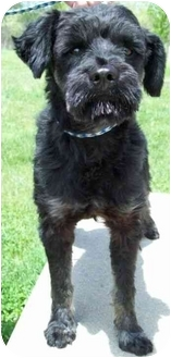Schnauzer (Miniature)/Poodle (Miniature) Mix Dog for adoption in North Judson, Indiana - Soda