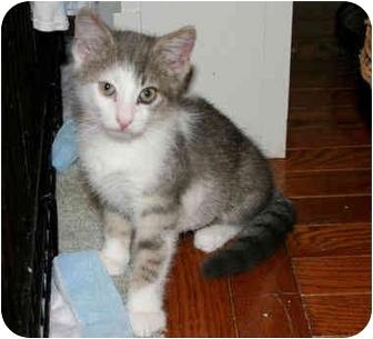 Domestic Shorthair Kitten for adoption in Colmar, Pennsylvania - Drake
