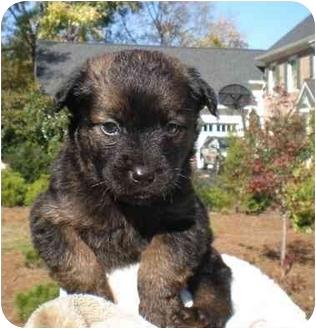 Shih Tzu Mix Puppy for adoption in Marietta, Georgia - Bono