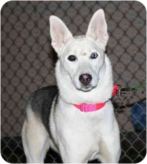 Husky Dog for adoption in Berea, Ohio - Sugar