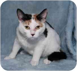 Calico Cat for adoption in Warren, Michigan - May! $75 Adoption Fee!
