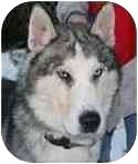 Husky Mix Dog for adoption in Windham, New Hampshire - Kodiak