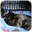Photo 1 - Domestic Shorthair Cat for adoption in Tampa, Florida - Katie