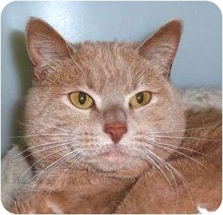 American Shorthair Cat for adoption in Carmel, New York - Tigger