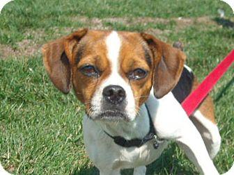 Beagle/Pug Mix Dog for adoption in Windsor, Missouri - Maggie