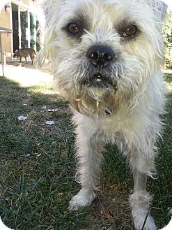 Brussels Griffon Dog for adoption in Winnetka, California - TOBY