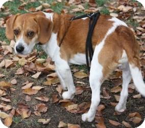 Beagle Dog for adoption in Portland, Oregon - Dakota-2
