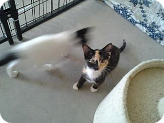 Calico Kitten for adoption in Rochester, Minnesota - Ellen